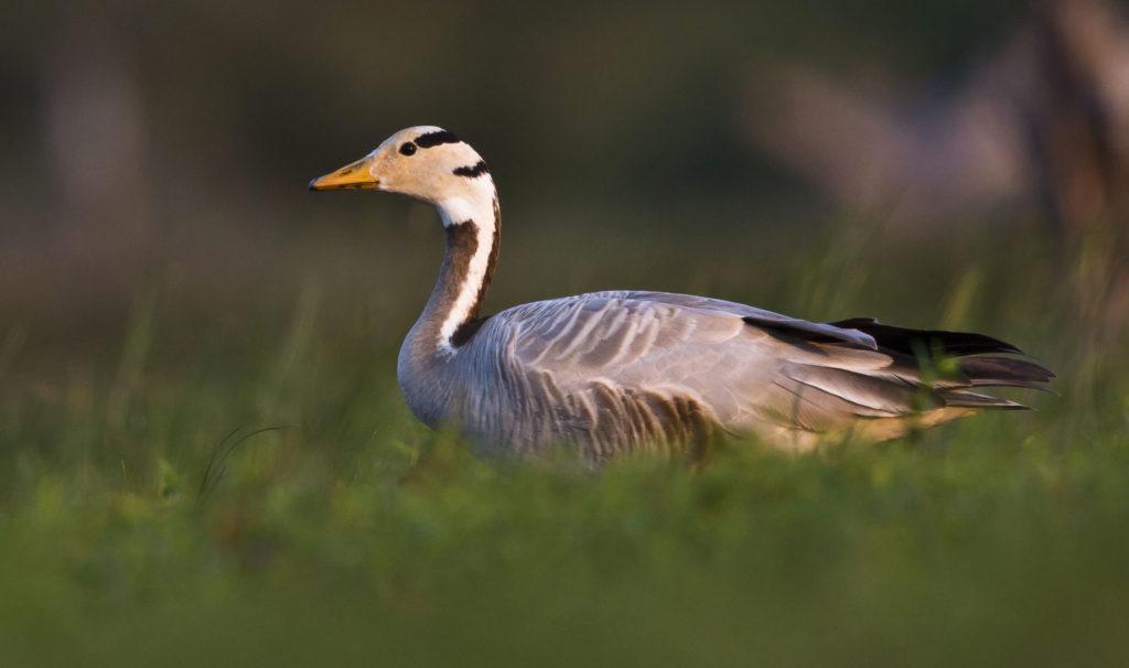 Bar-headed Goose at Korakulam. Pix by Sudheera Bandara.